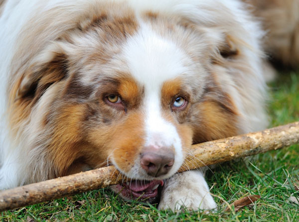 Australian Shepherd playing with wooden stick on the garden